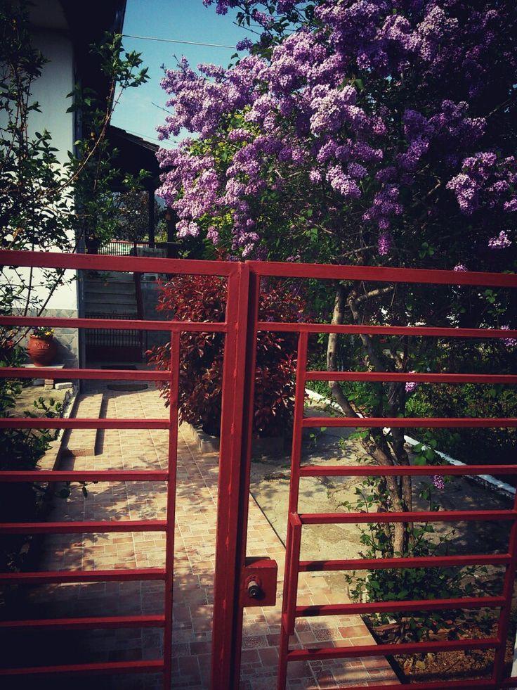 #πασχαλιές #lilac #greece