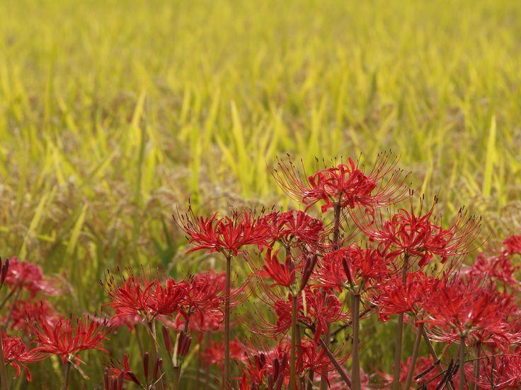 彼岸花と秋の実り:京都府亀岡市
