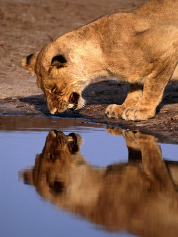 Lioness (Panthera Leo) Surprised by Her Reflection Growls in Anger, Chobe National Park, Botswana - Photographer Andrew Parkinson