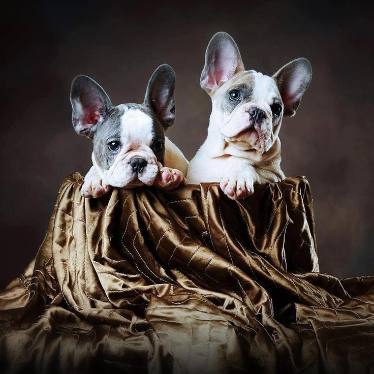 French bulldog puppies ♡