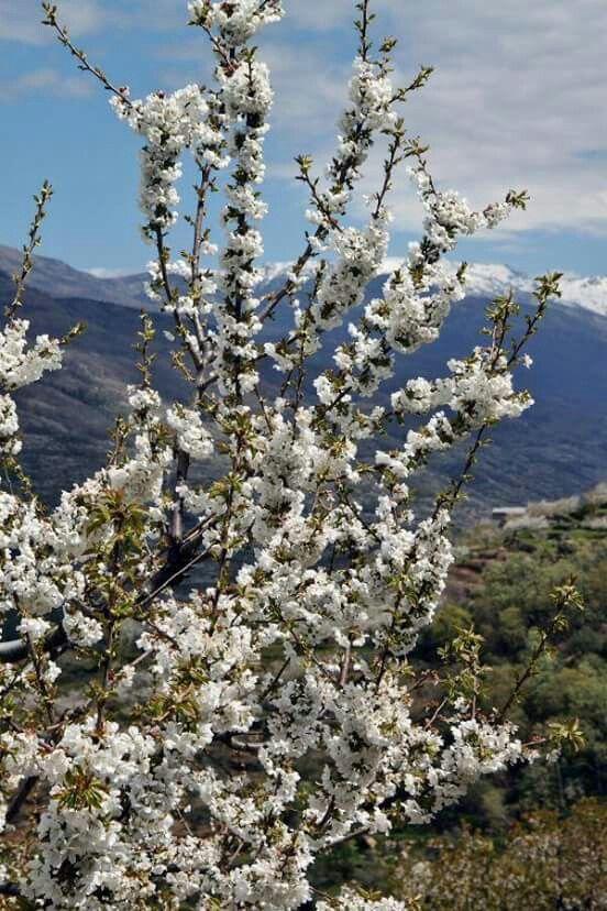 Extremadura. Valle del Jerte. Cerezos en flor