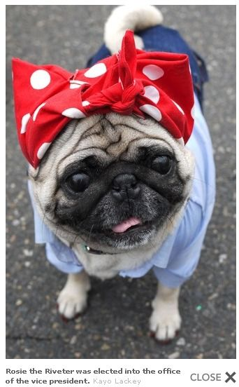 malgrantmetheserenity:    WOOK AT HER FACE!!!: Dogs And Girls,  Pug-Dog, Pugs Girls, Halloween Costumes, Dogs Costumes, Dogs Cat, Riveter Pugs, Dog Costumes, Rosie The Riveter