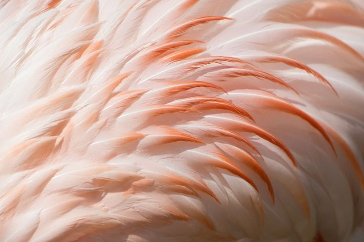 Greater Flamingos, Greater Flamingo Pictures, Greater Flamingo ...