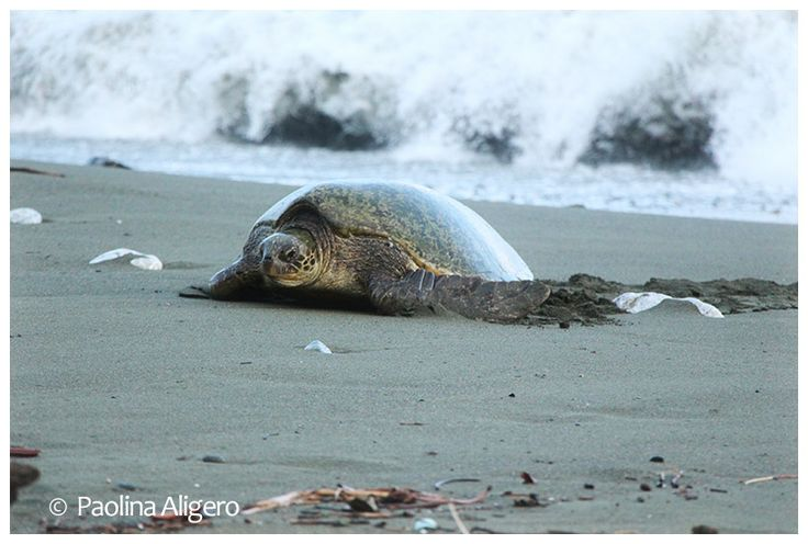 Green turtle on Carate beach in front of Lookout Inn Lodge Costa Rica
