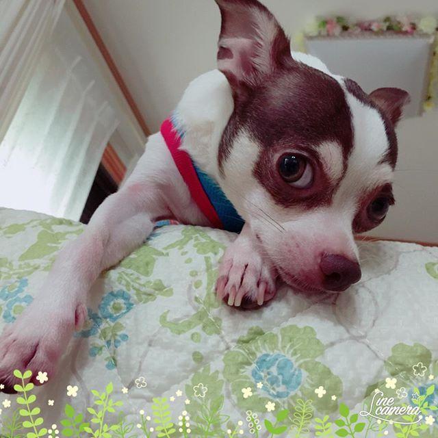 #ロミオ #男の子 #保護犬 #チワワ #チワワミックス #ちわわ #chihuahua #みっくす #ミックス犬 #多頭飼い #わんちゃん #犬 #いぬ #わんこ #dog #愛犬 #かわいい #動物大好き #犬と暮らす #犬好き