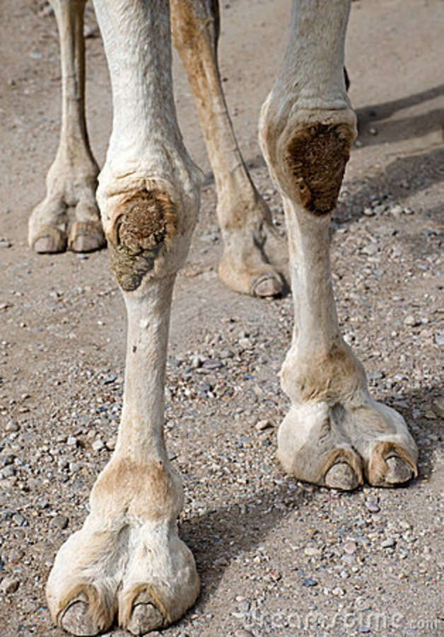 information about the hoofed mammal camel Get information, facts, and pictures about mammal at encyclopediacom make research or hoofed mammals: mammal •sewellel •camel, enamel, entrammel, mammal.
