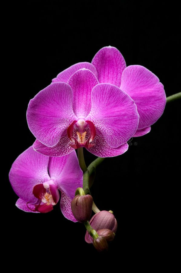 Orchid Pink Orchid On Black Background Sponsored Pink Orchid Orchid Background Black Ad Orchid Photography Orchids Painting Peonies Background