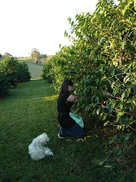 Mount Mee Coffee - Australian Grown Organic Coffee Roasted In Brisbane