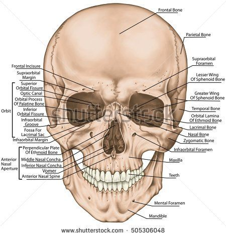 The bones of the cranium, the bones of the head, skull. The boundaries of the facial skeleton, viscerocranium. The nasal cavity, the anterior nasal aperture, the orbit. Anterior view.