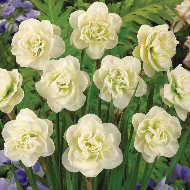 """""""Rose of May"""" daffodil's large buds open to reveal fully double, creamy white blooms resembling glorious gardenias, with layer upon layer of petals in late spring. Their powerful scent will make you stop in your tracks. Grow them outdoors, or in containers on a bright windowsill inside. Grows 12-18"""" in sun to part shade. Zones 3-9"""
