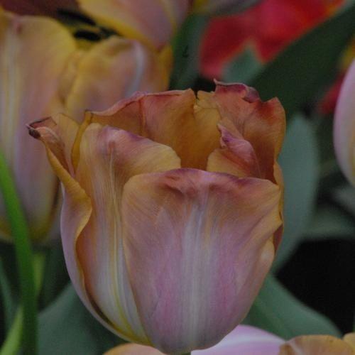 Tulipa Malaika. April /May. 55cm
