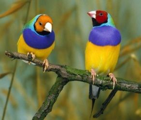 Gouldian Finch...rare and endangered in the wild