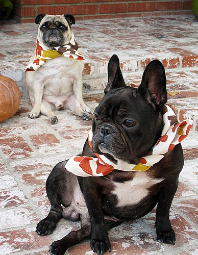 pug and frenchic dressed for thanksgiving+funny dogs - http://dailyfunnypets.com/pictures/dogs-pics/pug-and-frenchic-dressed-for-thanksgivingfunny-dogs/ - pug and frenchic dressed for thanksgiving+funny dogs  Image by ...love Maegan www.lovemaegan.com - dogs, dressed, frenchic, thanksgiving+funny