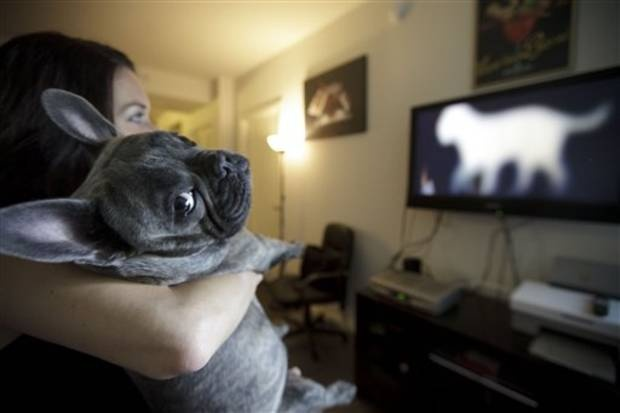I want to watch TV with this little guy. In this April 7, 2012 picture, Bleu, a French bulldog owned by Maria Catania, left, watches DogTV in her apartment in San Diego. One million subscribers with two cable companies have access to DogTV in San Diego,  an 8-hour block of on-demand, daily cable TV programming designed to keep your dog relaxed, stimulated and exposed to new things while you are at work or school. (AP Photo/Gregory Bull)