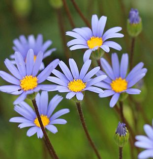 "'Tight &  Tidy' is a highly improved form of  ""Blue Marguerite Daisy"" that  stays a dense 16"" high & 30"" wide.  Blooms spring through fall.: Colors Combos, Marguerit Daisies, Tidi Bloom, Bloom Spring, Floral Giggl, Beautiful Flowers, Blue Colors, Blue Marguerit, Flowers Natural"