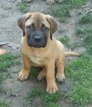 Litter of 4 Bullmastiff puppies for sale in LIMA, NY. ADN-36318 on PuppyFinder.com Gender: Female. Age: 13 Weeks Old