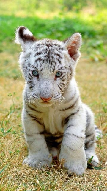 ,:-) A white tiger mom at a zoo delivered 8 cubs the other day. This is twice the average number of 4. They are really cute aren't they?:-)
