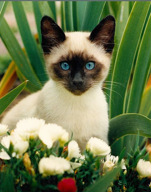 Image result for adorable siamese kittens