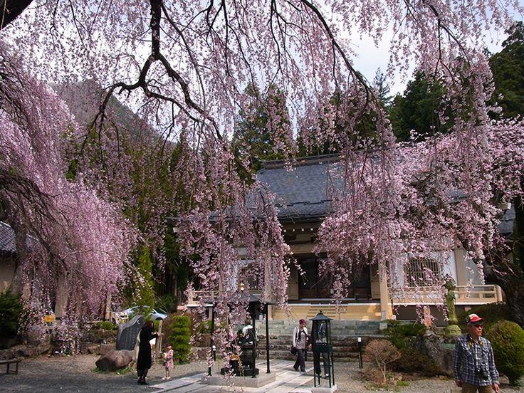 枝垂れ桜が本当にきれい