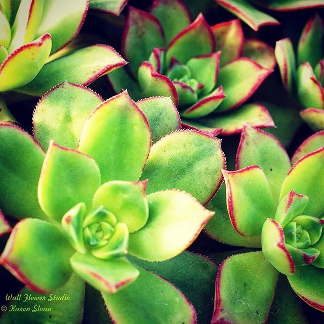 Watering succulents, among other plants, on this unseasonably mild January afternoon. 🌱 #indoor #garden #green #winter #succulents #plantsofinstagram 💚 #MyHaliburtonHighlands #Ontario #grow #locallygrown #Minden 🍁