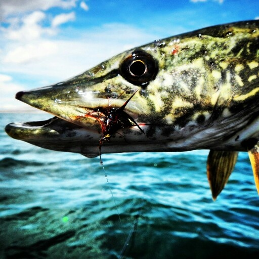 17 best images about northern pike on pinterest canada for Fly fishing tippet