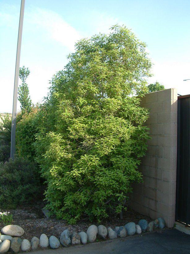 17 best images about garden screen plants on pinterest for Tall evergreen shrubs