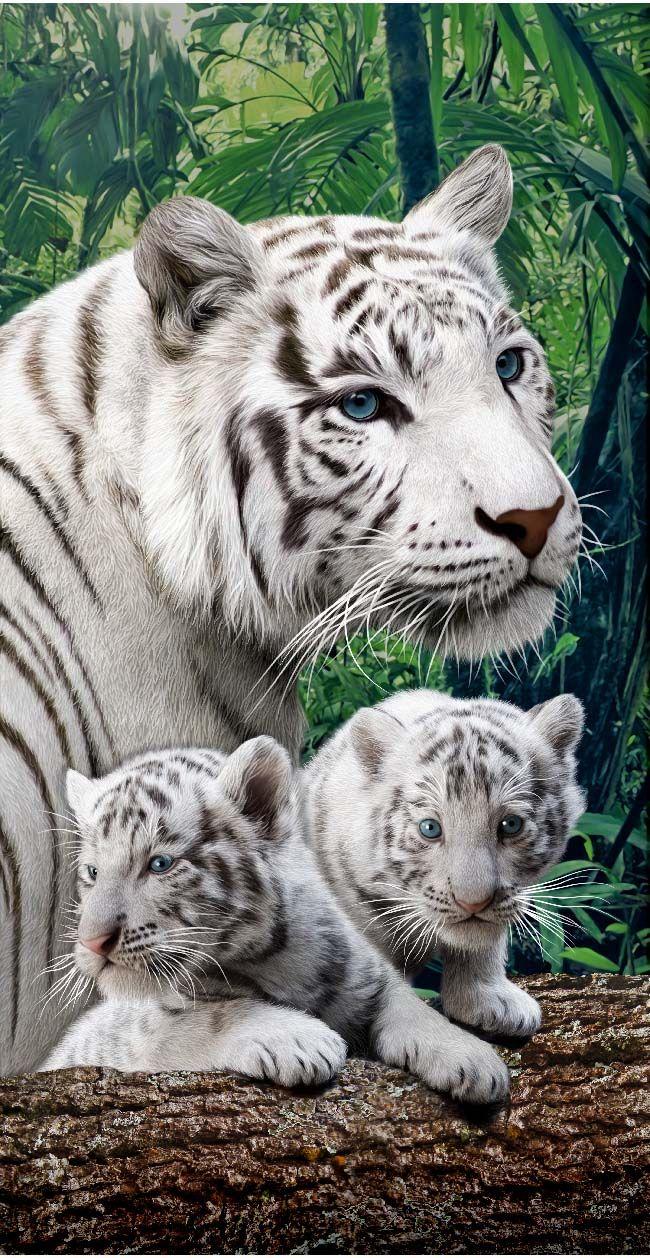 La razón de esto es que toda creación de Dios es excelente. (1 Timoteo 4:4) (Bengal White Tiger  Madagascar Zoo) SB