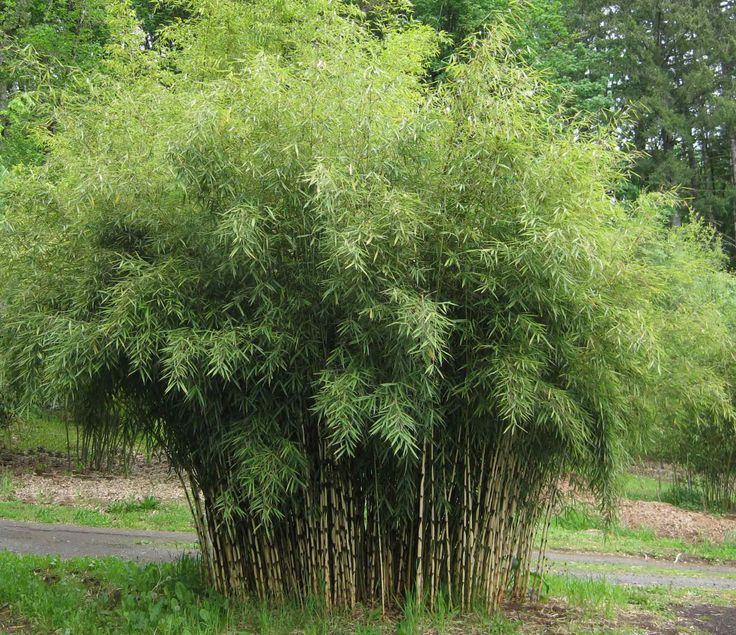 Clumping Bamboo, Fargesia robusta 'Campbell', 12' to 15' ft. tall, 5 years old here at 14 ft., canopy as wide as tall, good screening/sound barrier bamboo.