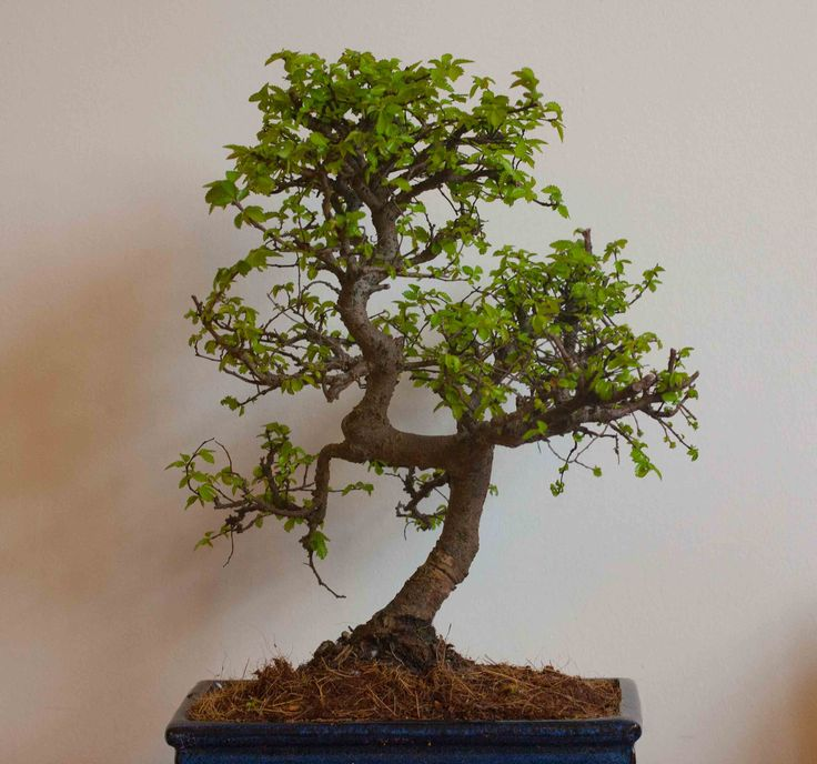 Dragon Blood Tree Bonsai Bringing nature into