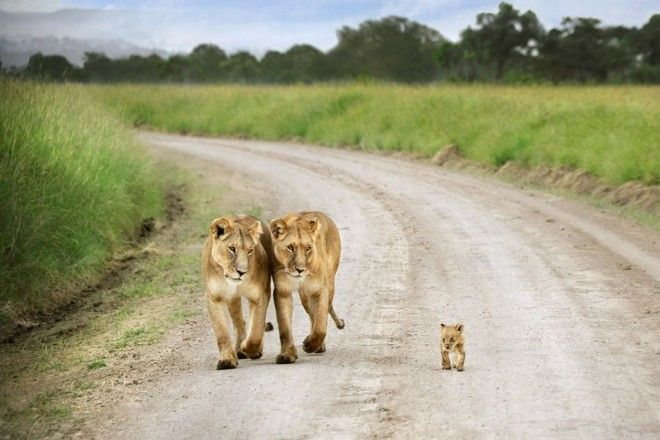 Lion family out on walk, Masai Mara, Kenya   1,000,000 Places