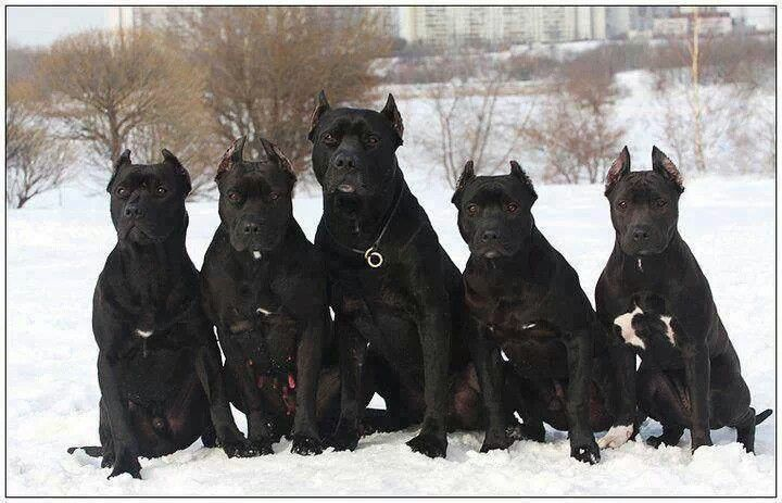 Black pitbulls Love Your Dog? Visit our website NOW! Beautys just Beauty