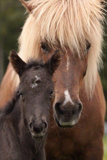 Mörks bilder - charlottenbergs Is.hestar HB