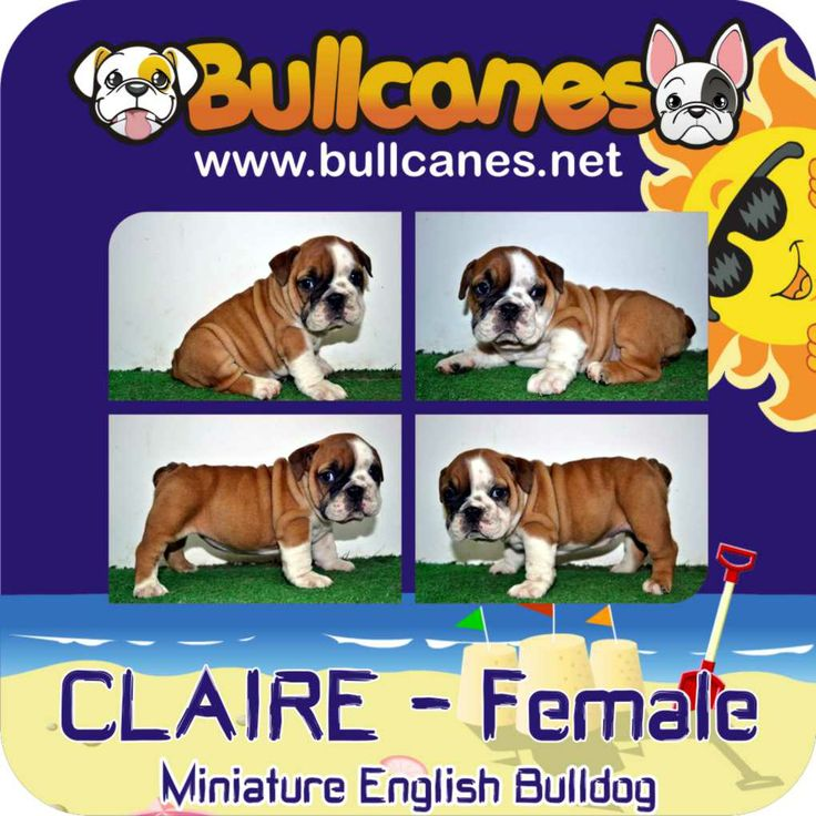 CLAIRE MINIATURE ENGLISH BULLDOG PUPPIES FOR SALE http://www.bullcanes.net / ceo@bullcanes.net / Facebook: bullcanes1@hotmail.com / instagram: @BULLCANES Bulldog puppies for Sale / Twiter: bullcanes1 / YouTube: Bullcanes Bulldog Kennel