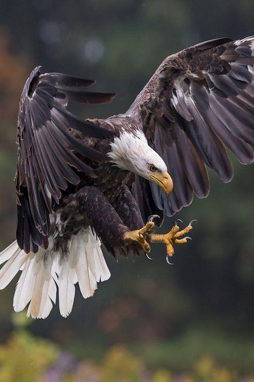 earthandanimals: Bald eagle Bald Eagle by Phoo Chan We still see these birds in northeastern Oklahoma.