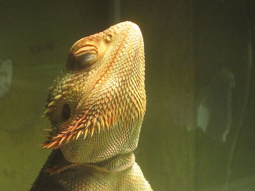Bearded dragon lighting is very important in regards to raising a healthy bearded dragon. This will help your bearded dragon live a long and healthy life.