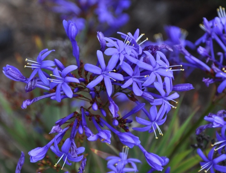 Blue stars (Nivenia corymbosa)An unusual woody irid from the fynbos.