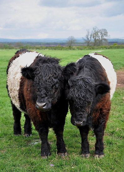Belted Galloway Cattle, hardy animals originating from Dumfries and Galloway, South West Scotland - ( explore your wanderlust on www.motorcyclescotland.com )