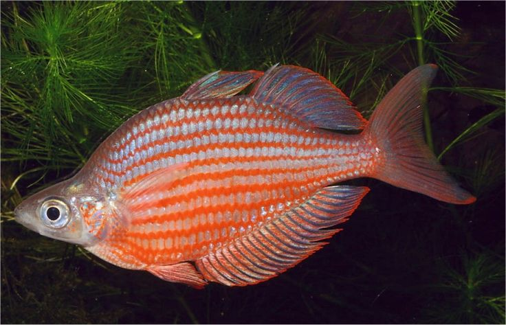 Glossolepis dorityi Grime rainbow fish