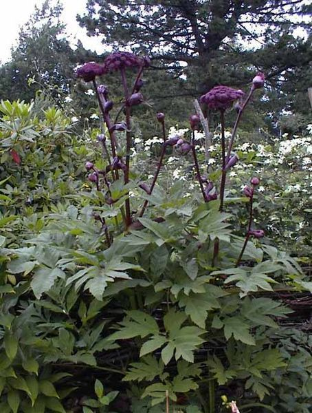 angelica gigas - biennial - reasonably easy to start by direct seeding in fall - can take 4 to 5 years from seed to produce flowers - dies after flowering - self sower to produce future generations - part shade, moist soil - great for beneficials  _/////_