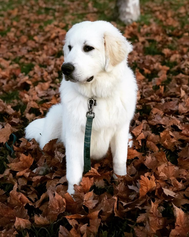 Great Pyrenees Puppy! Great article with information regarding the breed.