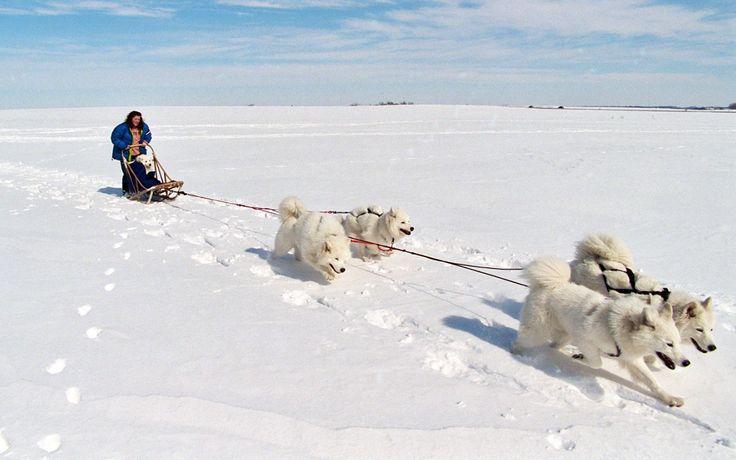 Scopriamo le razze di cani nordici da slitta: tutto quello che c'è da sapere su Alaskan Malamute, Samoiedo, Groenlandese, Eskimo Canadese, Siberian Husky!