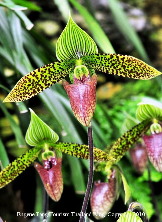 Thailand rare orchid plants and flowers | Lady Slipper Orchids in Thailand – Paphiopedilum sukhakulii