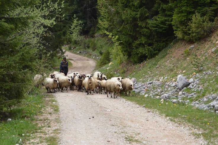 Овечий сыр, которым вы будете лакомиться в Дурмиторе делают из молока этих овец  #прогулка#дурмитор#черногория#горы#овцы#походы#туризм#альпинизм#скалолазание#долгожители#горцы#отдых#поход#горы#путешествие#путешествия#путешествуем#путешествуй#путешествовать #путешествую#турист#туристы#поездка#отпуск#отпуск2016#отдых #отдыхаем#заграница#тур#путь