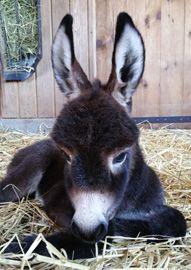 Foster Hill Farm - Miniature Donkeys