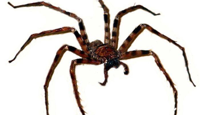 """Die größte Spinne  Einer der häufigsten Suchbegriffe, der Besucher von Google zu diesem Blog führt ist """"größte Spinne der Welt"""". Ja, Statistiken sind eine großartige Sache"""