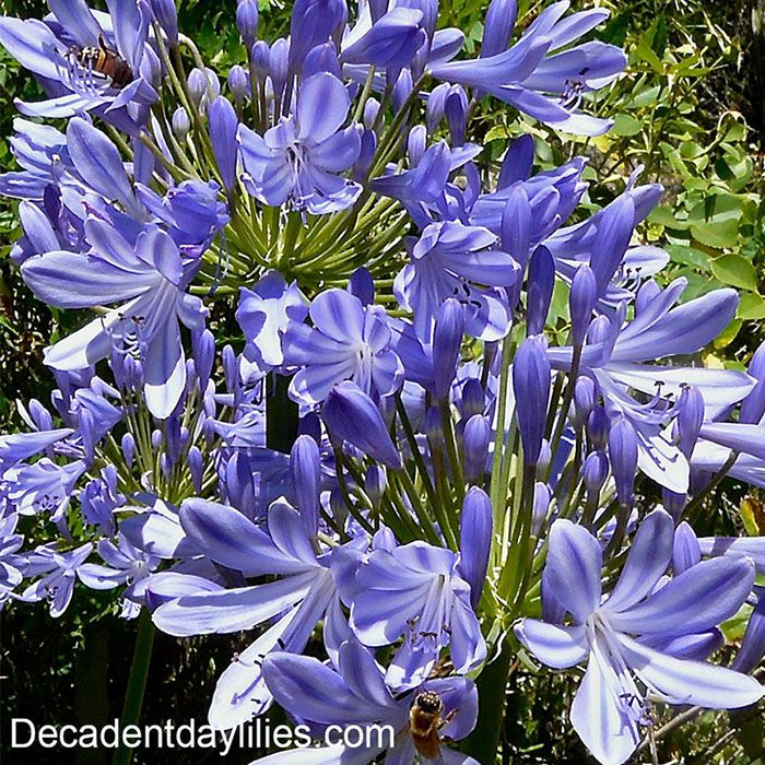 Growing Australian Native Plants: How To Grow Agapanthus