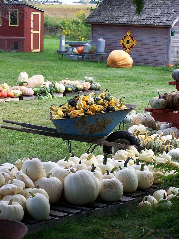 Hawk Valley Garden..White full moon, cotton candy and casper pumpkins