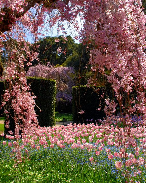 tulips and cherry blossoms: Pink Blossom, Secret Garden, Beautiful, Tulip, Gardens, Flowers, Place, Spring, Cherry Blossoms