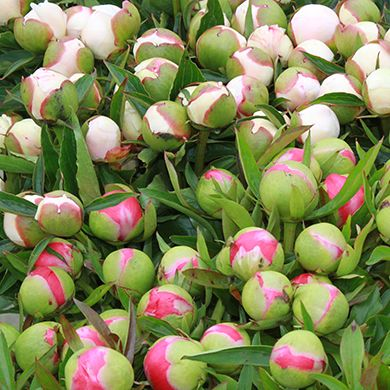 how to cut peonies from garden