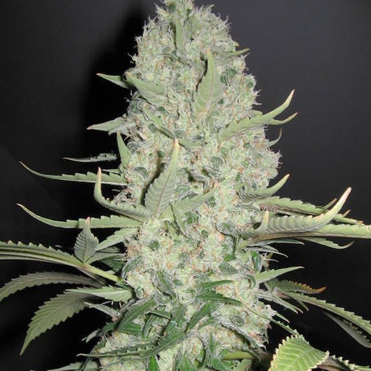 White Widow x Big Bud Feminised Seeds by the cannabis breeder Female Seeds, is a Photoperiod Feminised marijuana strain.This Feminised seed grows well in Greenhouse, Indoors conditions. #marijuanaflower